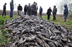 Stagno ucciso fish_3 Fotografie Stock Libere da Diritti