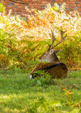 Stags Stock Image