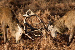 Stags fighting Stock Image