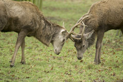 Stags fighting. Taken in Bushy park, next to Hampton Court palace, UK Stock Photo