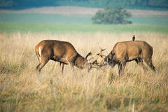 Stags fighting. Two young stags fighting for the right to mate with females during the annual rut Stock Photos