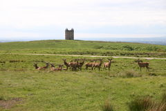 Stags at Lyme Park, Northern England Royalty Free Stock Photography