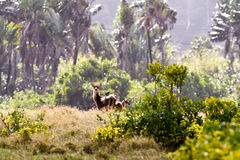 Stags from Mauritius Stock Photo