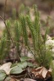 Stagshorn clubmoss - clavatum lycopodium Στοκ εικόνες με δικαίωμα ελεύθερης χρήσης