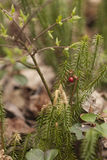 Stagshorn clubmoss - lycopodium clavatum. Stagshorn clubmoss lycopodium clavatum with wintergreen fruit on pine forest ground.  on a blurry background Stock Photography