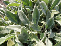 Stahis woolly or chistets (Stachys) Stock Photos