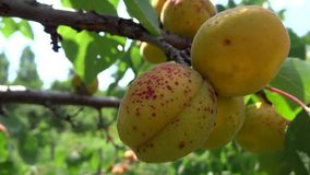 Stained apricots close up in the breeze stock footage