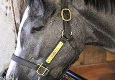 Stainless, a gray two year old colt. royalty free stock image