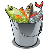 A stainless steel bucket filled with colorful fish isolated on white background. Vector illustration. A stainless steel bucket filled with colorful fish Royalty Free Stock Photo