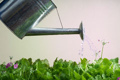 Stainless Steel Watering Can Used for Gardening Stock Images
