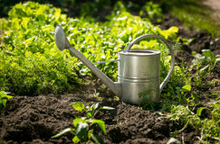 Stainless watering can on garden bed with growing lettuce Stock Photo