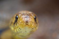 Stairing capo del serpente al fotografo Immagine Stock