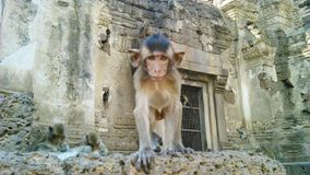 Stairing monkey at ancient city in Thailand Stock Photography