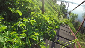 Stairs with grapes. Overgrown vines ladder and descend to river bank stock footage