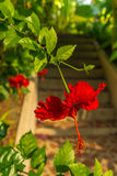 Stairs with hibiscus flowers Royalty Free Stock Image