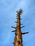 Stairway To Heaven. A tall tree seems like a ladder to climb to the sky Stock Photos