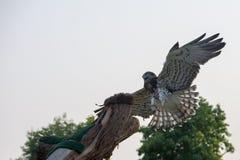 Stający węża orła Circaetus gallicus, także znać gdy stający orzeł lata w rozprzestrzeniać swój skrzydła Lite z powrotem zdjęcia royalty free
