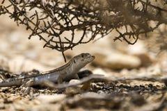 Stająca jaszczurka & x28; Acanthodactylus boskianus& x29; Obrazy Stock