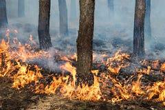 Stajenki ziemi ogień w sosna stojaku Fotografia Royalty Free