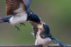 Stajni dymówki Hirundo rustica karmi jej gniazdownika w locie Fotografia Stock