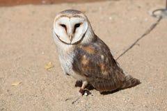 Stajni sowa (Tyto albumy) Fotografia Stock