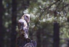 Stajni sowy obsiadanie Na nazwy użytkownika Bokeh Pogodnym Lasowym tle Fotografia Royalty Free
