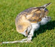Stajni sowy zrywanie przy jesses podczas gdy stojący na trawie Zdjęcia Stock