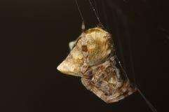 Stajnia pająk Zdjęcia Royalty Free