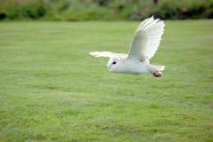 stajnia sowa lotu zdjęcie stock