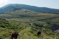 Stajnie i krowy w górach zdjęcia royalty free