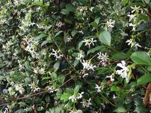 Staked star jasmine. Star jasmine climbing a wall and blooming white flowers Stock Image