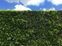 Staket av gröna träd under blå himmel Arkivbilder