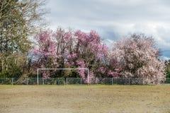 Staket And Cherry Trees 2 royaltyfria bilder