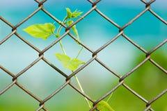 Staket för Chain sammanlänkning med den nya växten Arkivbilder