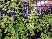 Staket med grönska Royaltyfria Foton