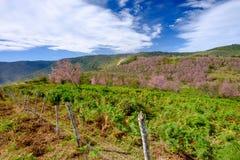 Staket och rosa färgblommafält i berg för blå himmel på Thailand Arkivbild