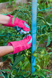 Staking of green tomatoes Stock Image
