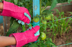 Staking of green tomatoes by farmer. Close up staking of green tomatoes by farmer royalty free stock photography