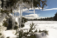 Snow in Troodos Cyprus – Stalactites in cypress tree. Photos of snowy field with stalactites on a cypress tree stock photography