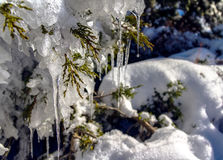 Snow in Troodos Cyprus – Stalactites in cypress tree. Photos of snowy field with stalactites on a cypress tree stock image