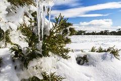 Stalactites dans l'arbre de cyprès photos stock