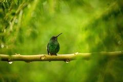 Stalen-geluchte kolibriezitting op tak in regen, kolibrie van tropisch regenwoud, Colombia die, vogel, uiterst kleine mooie B nee royalty-vrije stock foto