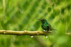 Stalen-geluchte kolibriezitting op tak in regen, kolibrie van tropisch regenwoud, Colombia die, vogel, uiterst kleine mooie B nee royalty-vrije stock foto's