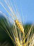 Stalk of barley close up stock images