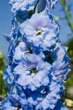 Stalk of blue flowers with tight petals Royalty Free Stock Photo