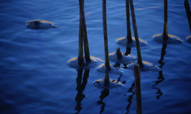 The stalk of cane, frozen water around the stems Royalty Free Stock Image