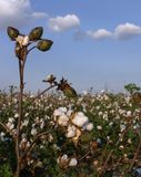 Stalk of Cotton in Field. Stalk of cotton sharp in forground, backed by a cotton field underneath cotton-like clouds in a blue sky Stock Image
