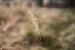 Stalk of dry grass on a blurred background. Bokeh Stock Photo