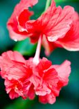 Stalk of exotic tropical red hibiscus Royalty Free Stock Images