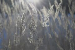 A stalk of fluff is covered with hoarfrost. On a blurred background Stock Image